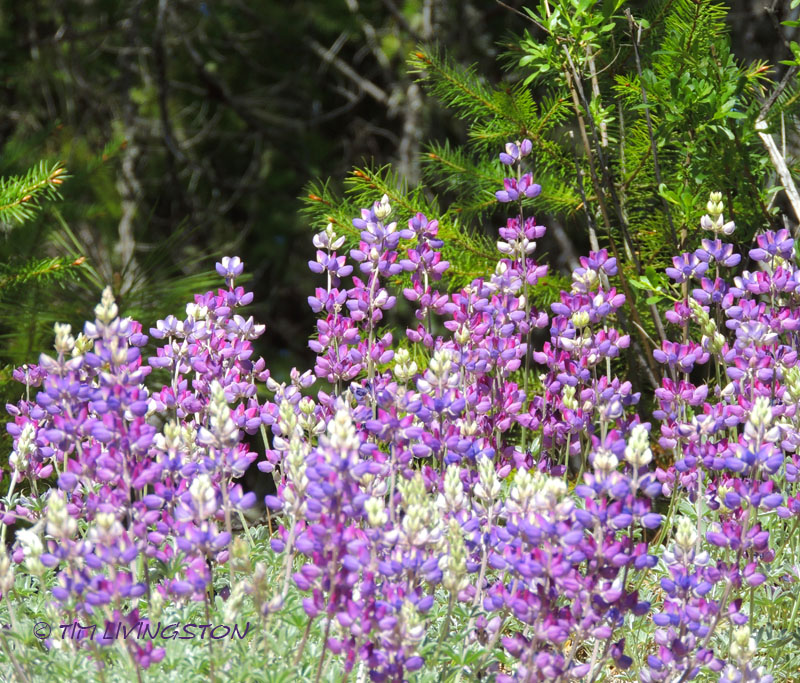 lupine, wildflowers, spring, photography